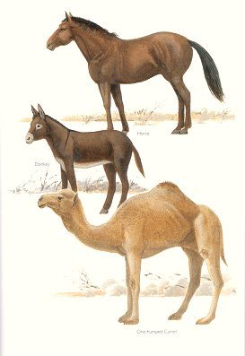 horse-donkey-and-camel-were-stolen